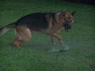 Janko looking fierce as he circles the sprinkler